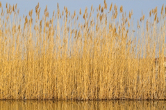 reedbed showing reeds in winter